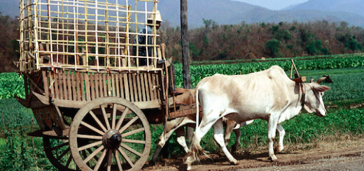 Ox cart picture of Nick DeWolf